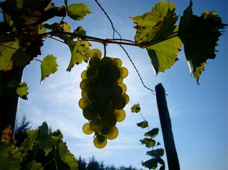 vin-bio-vigne.jpg