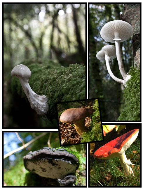 Poster de champignons de la forêt du Nevet