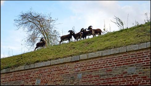 Ce sont des Moutons de Soay qui assurent l'entretien des abords de la citadelle de Lille (59) - Photo: CC Lamiot