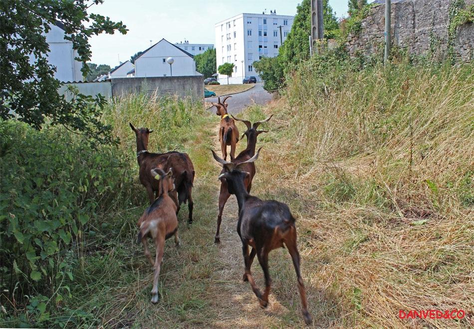 Entretien de friches urbaines à Quimper, avec les chèvres de l'entreprise DanvedCo - Crédit photo : danvedCo