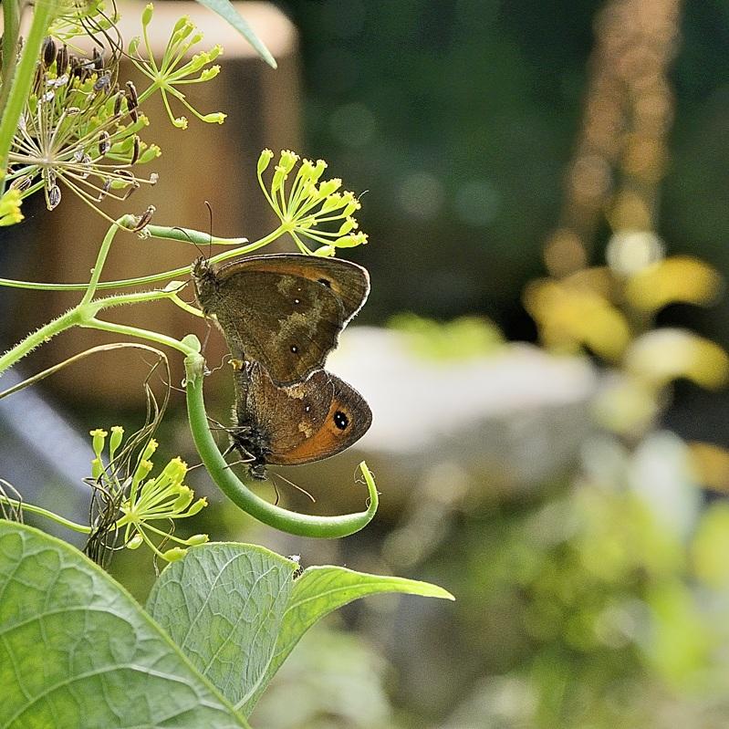 _DSC9543-papillon