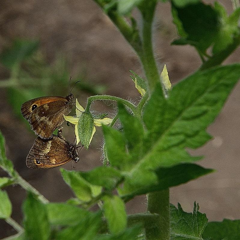 _DSC9546-papillons-locronan