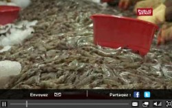 Reportage : la crevette en équateur
